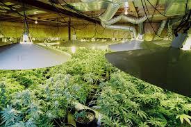 environmental impact weed